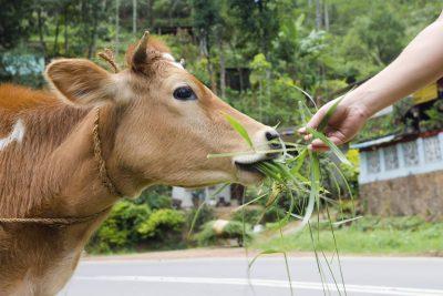 Kuh - Inland - Sri Lanka