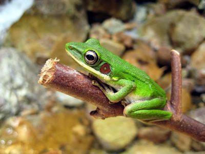 Borneo Rundreise -Gruppenreise Borneo -Frosch - Bako National Park - Malaysia Borneo