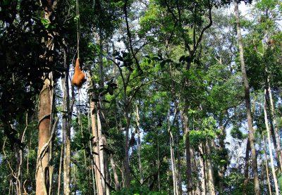 Borneo individuell -Orang Utan - Mulu National Park - Borneo Malaysia