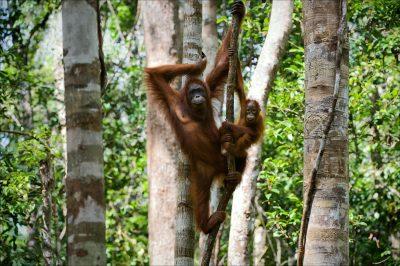 Orang Utan - Urwald - Borneo