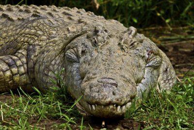 Aethiopisches Krokodil