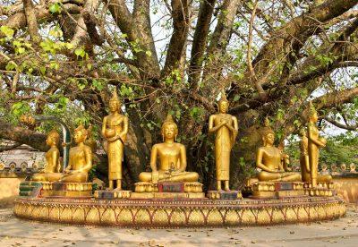 Laos Erlebnisreise -Laos Individuelle Rundreise -Buddha Baum - Laos
