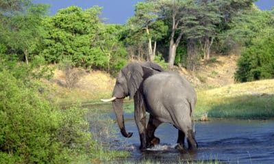 Elefant im Fluss - Serengeti National Park - Tansania