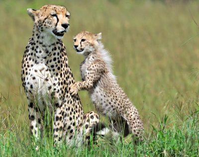 Tansania Safari - Geparden - Serengeti - Tansania