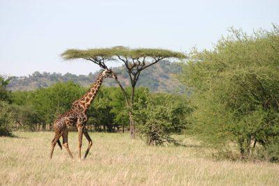 Giraffe in der Savanne - Serengeti - Tansania