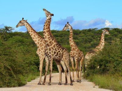 Giraffen - Serengeti National Park - Tansania