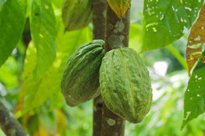 Borneo Rundreise -Kakao Bohne - Borneo - Malaysia