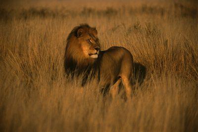 Loewe im Gras - Savanne in Botswana