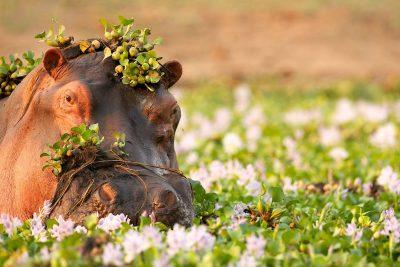 Simbabwe Rundreise -Nilpferd - Mana Pools National Park - Simbabwe