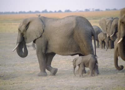 sehr kleiner Elefant - Busch in Botswana