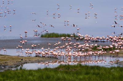 Flamingos - Lake Nakuru National Park - Kenia