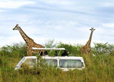 Jeep Safari - Giraffen - Kenia