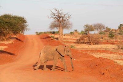 Junger Elefant - Tsavo Ost National Park - Kenia