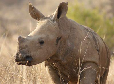 Junges Nashorn - Naturschutzreservat - Suedafrika