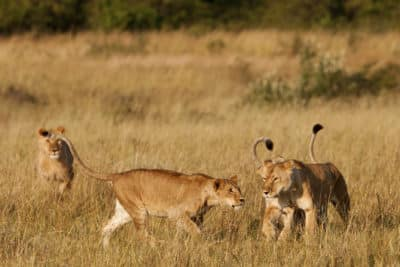 Loewen im Busch - Kenia