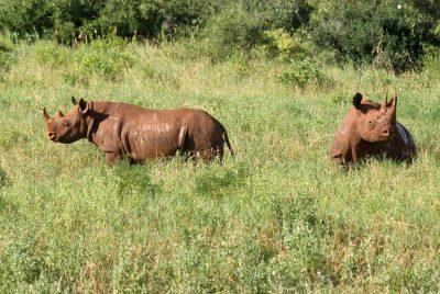 Nashorn - Tsavo National Park - Kenia