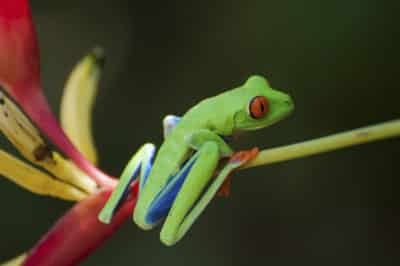 Rotaugenlaubfrosch - Costa Rica