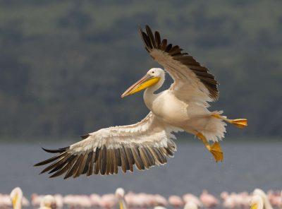 fliegender Pelikan - Lake Nakuru - Kenia
