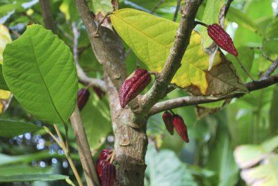 Burkina Faso Gruppenreise -Kakaobaum - Ghana