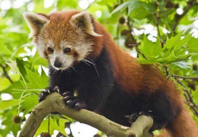 Individualreise Bhutan -Roter Panda - Wildpark - Bhutan