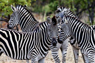 Zebras - Krueger Nationalpark - Suedafrika