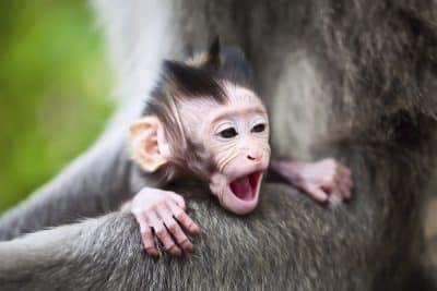 Gaehnender Baby Affe - Bali