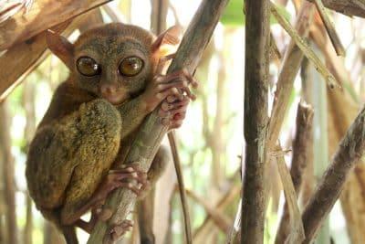 Koboldmaki - Philippinen