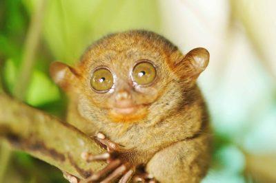 Tarsier große Augen Tier - Philippinen