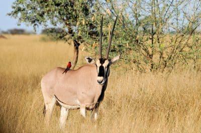 Namibia Erlebnisreise - Selbstfahrerreise Namibia - Oryx in der Wildnis - Kunene - Namibia