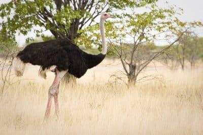 Namibia Erlebnisreise -Strauss in der Wildnis - Kunene - Namibia