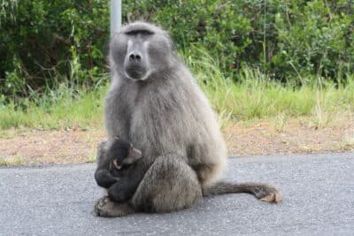 Pavian am Kap der Guten Hoffnung - Kapstadt - Suedafrika