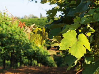 Wein - Sizilien - Italien