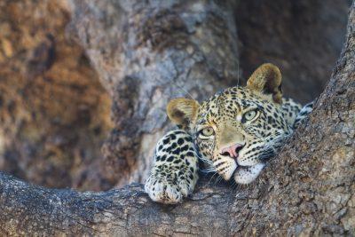 Leopard im Baum - Mashatu - Reservat - Botswana