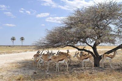 Springboecke - Etosha National Park - Namibia