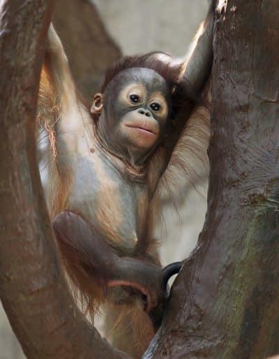 baby Orang utan - borneo malaysia
