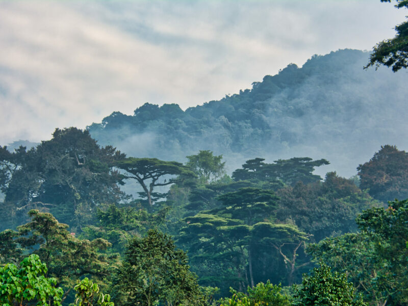 Lush green canopy surrounded by morning mist in Bwindi Impenetrable National Park
